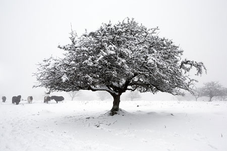 Snow covered tree on East Hill, Dartmoor