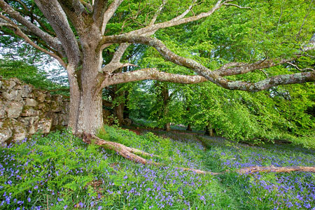 A mighty oak tree surrounded by bluebells